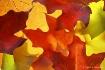 autumn Maple leav...