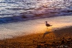 Seagull at Sunset...