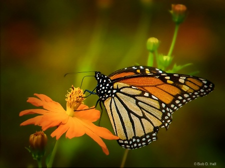 Monarch On Top