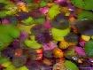 Nimfea leaves