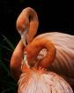 Flamingos Groomin...