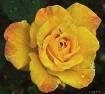 Yellow Rose of Tu...