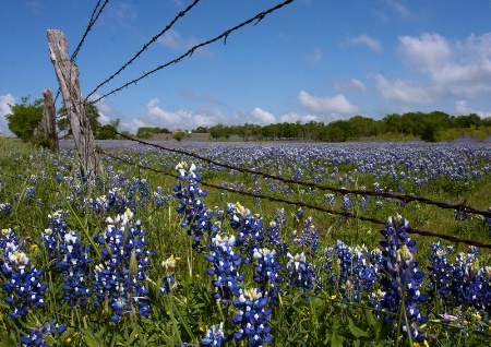 Bluebonnets and Barbed Wire