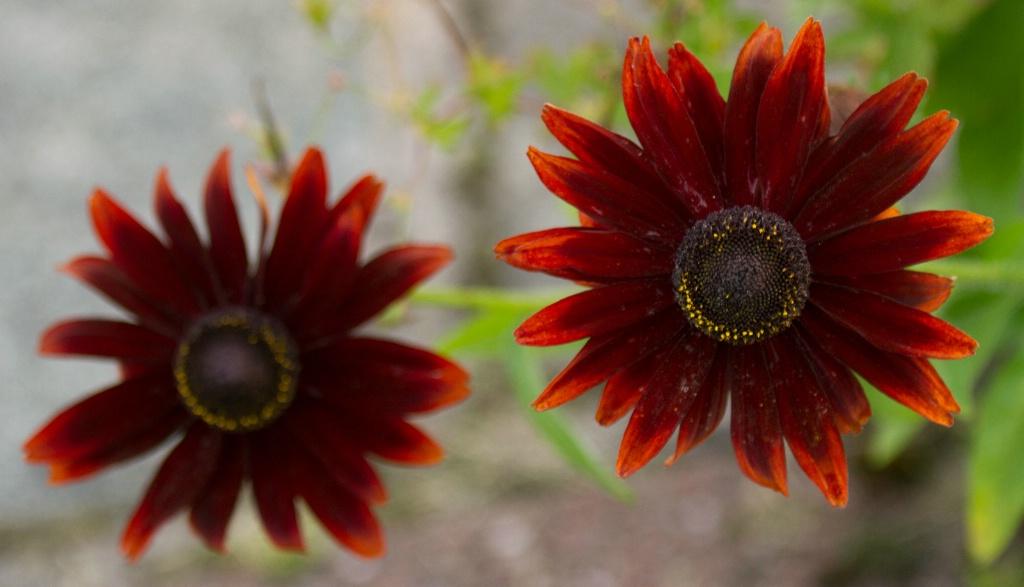 Rudbeckia Duo - ID: 15430735 © Susan Gallagher