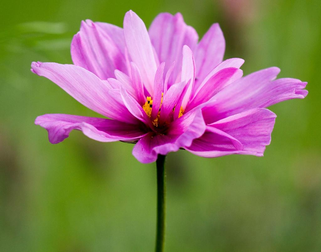 Pink Cosmos - ID: 15442940 © Susan Gallagher