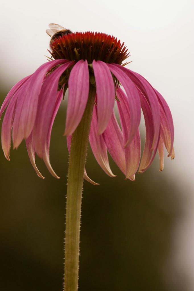 Single Echinacea Flower - ID: 15444304 © Susan Gallagher