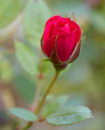 Patio Rosebud