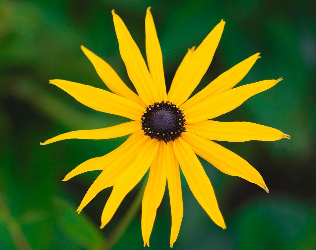 Rudbeckia Star - ID: 15447406 © Susan Gallagher