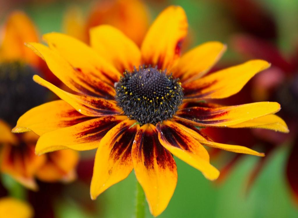 Stunning Rudbeckia - ID: 15448025 © Susan Gallagher