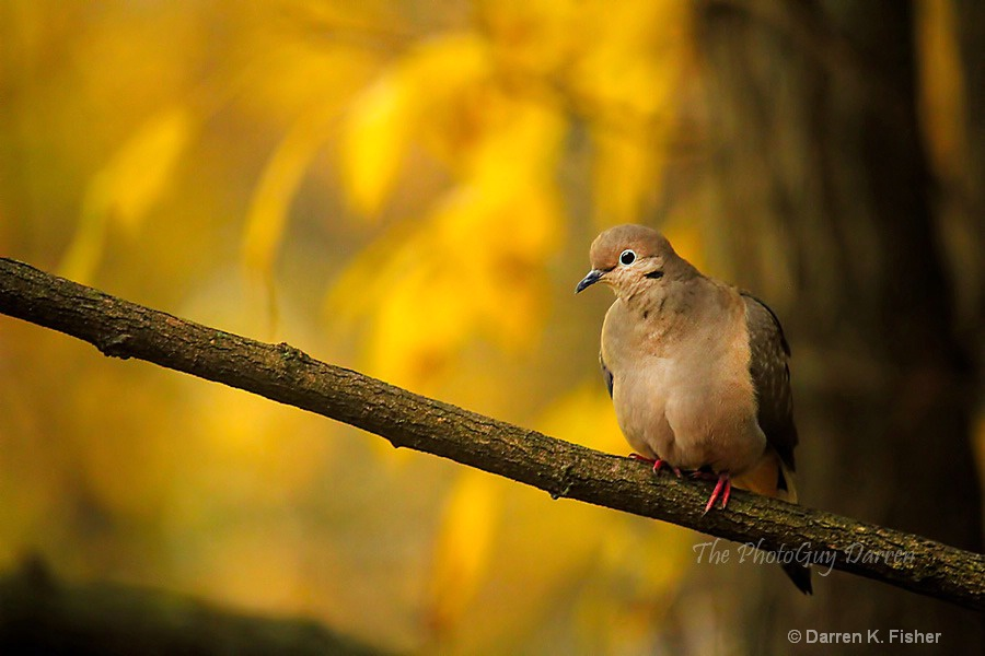 Mourning Dove of Autumn
