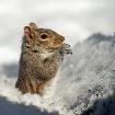 Pop-up Squirrel