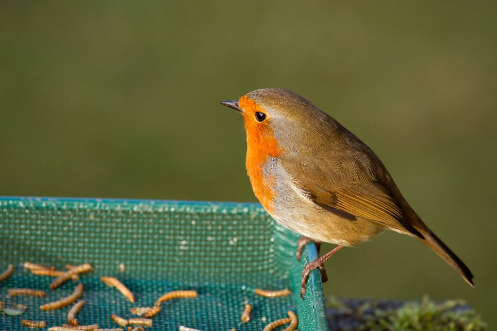 Robin about to enjoy Afternoon Feed - ID: 15516517 © Susan Gallagher