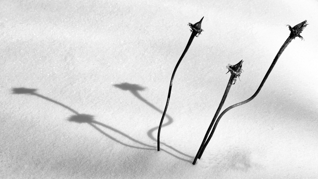 Winter Coneflowers