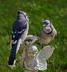 Two Jays on Pixie