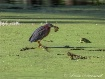 Green Heron With ...