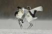 Cranes dancer