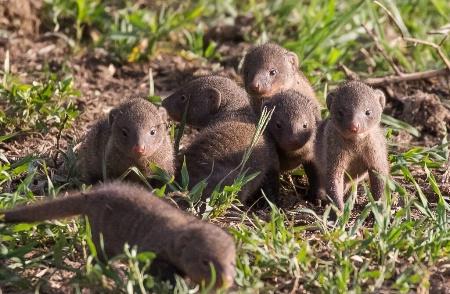 Mongoose Babies