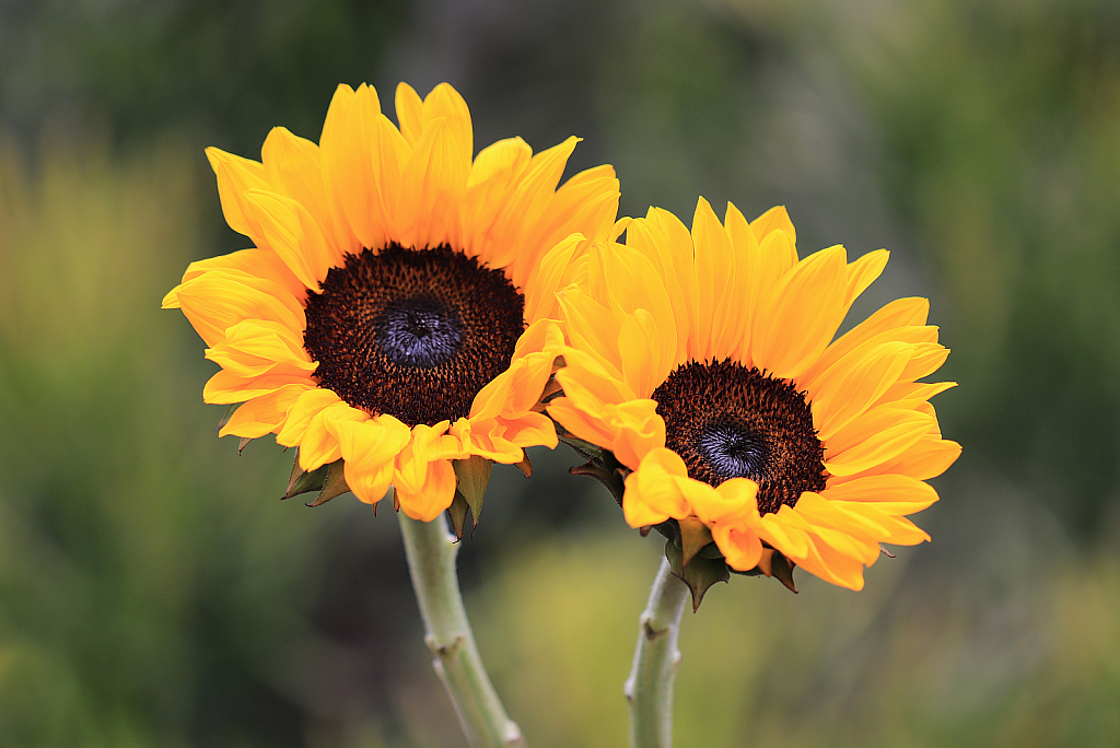 Seeing Sunflowers - ID: 15727015 © Lynnmarie Daley