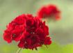 Prized Red Gerani...