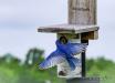 Eastern Bluebird ...