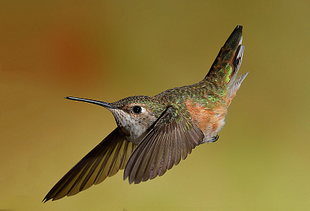Photography Contest Grand Prize Winner - July 2019: Female Callioppe Hummingbird