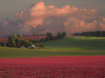 Red Clover Sunset