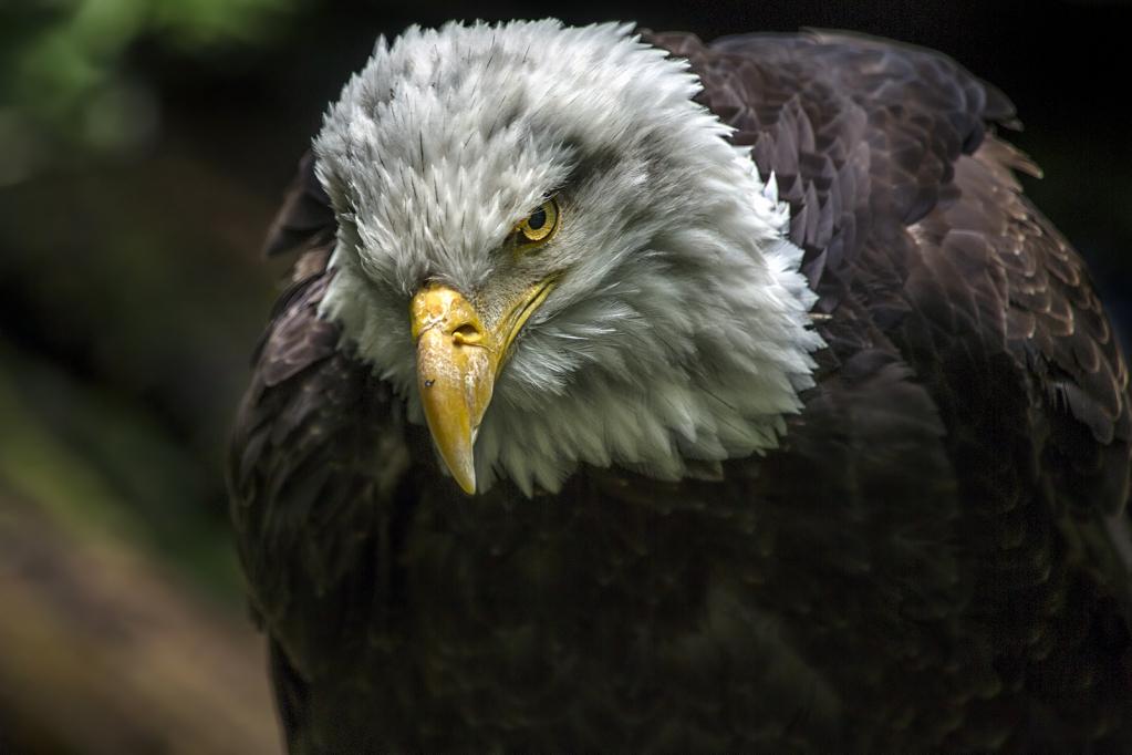 Old Eagle Eye - ID: 15729981 © Teresa Burnett