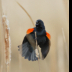 © Ravi S. Hirekatur PhotoID # 15730065: Red Winged Blacbird