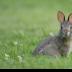 © Ravi S. Hirekatur PhotoID # 15730072: Rabbit
