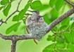 Hummingbird Chick...