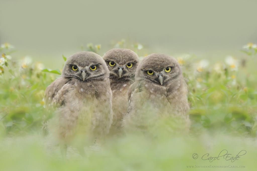 Three Lil Owls