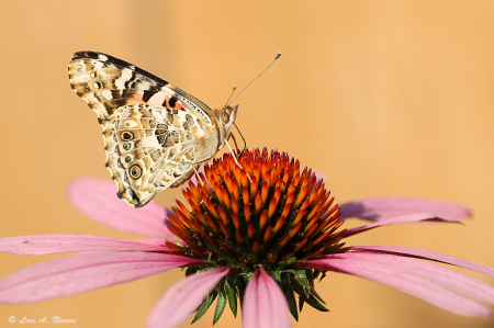 Painted Lady 19