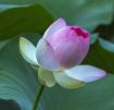 Dancing Lotus