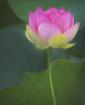Lotus Delicate Ba...