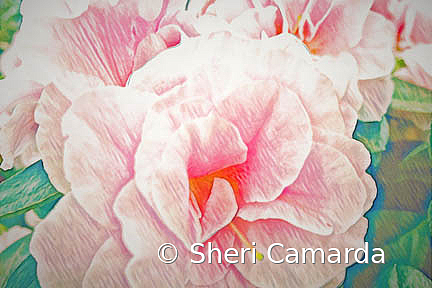 Pretty In Pink - ID: 15737301 © Sheri Camarda