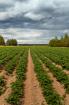 Potato Fields Und...