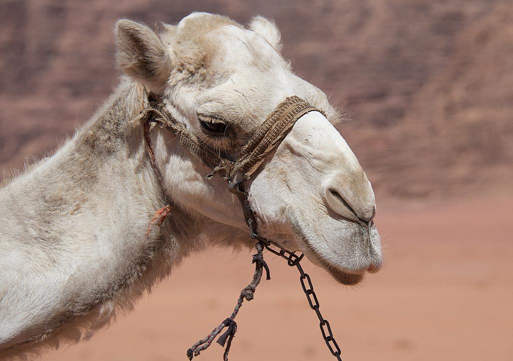 White Camel - ID: 15738883 © David Resnikoff