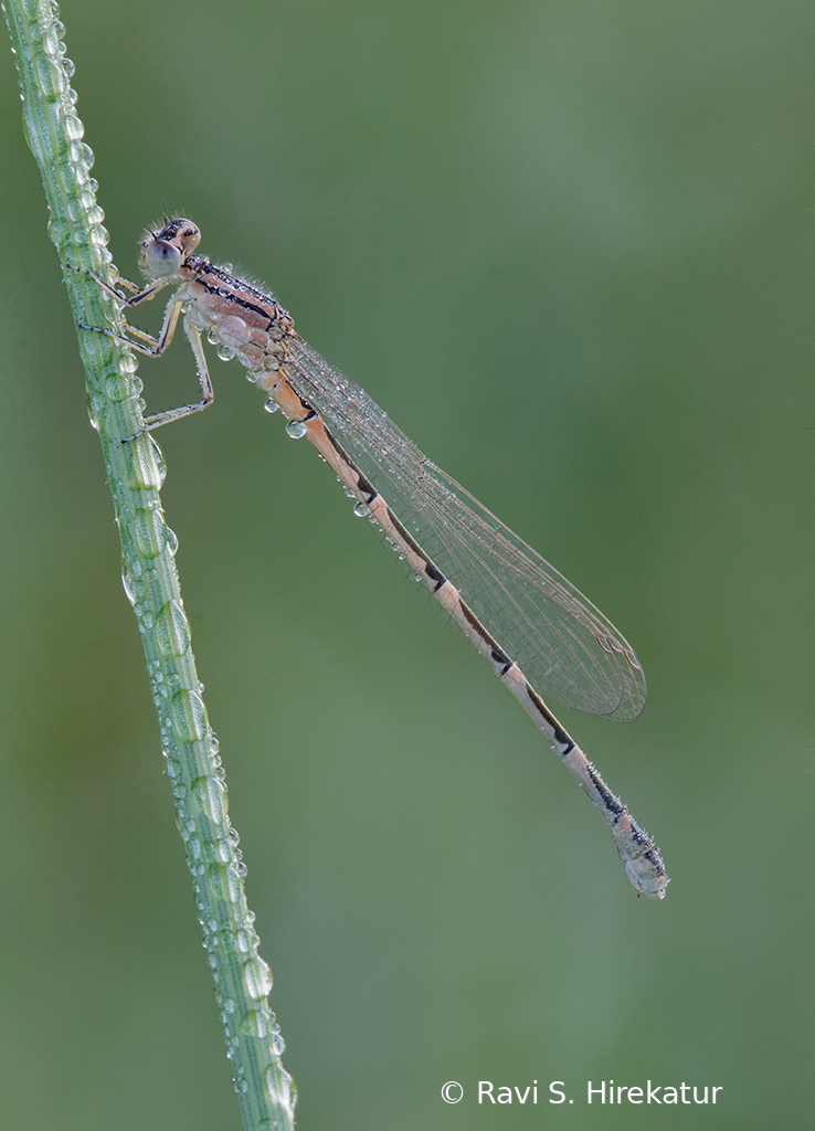 Damselfly covered with early morning dew - ID: 15742777 © Ravi S. Hirekatur