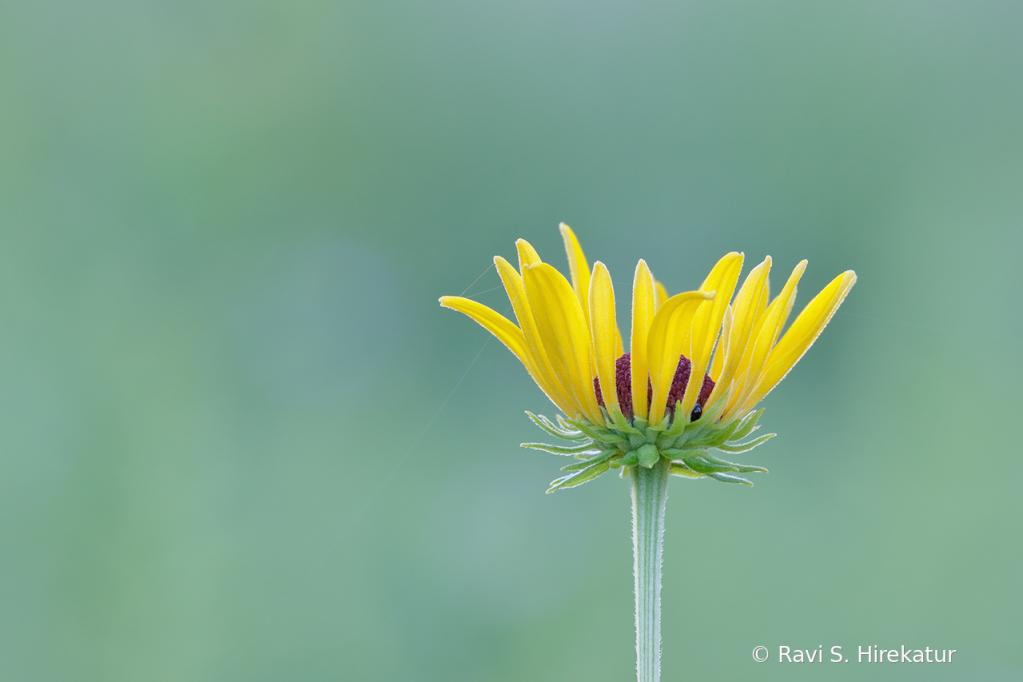 Sweet Coneflower - ID: 15742802 © Ravi S. Hirekatur