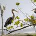 © Cynthia Underhill PhotoID# 15746010: Great Blue Heron - Building Nest