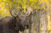 Teton Moose 0809
