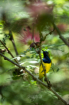 Sunbird on a perc...