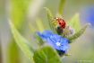 The red Ladybug