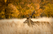 Stag at Fall
