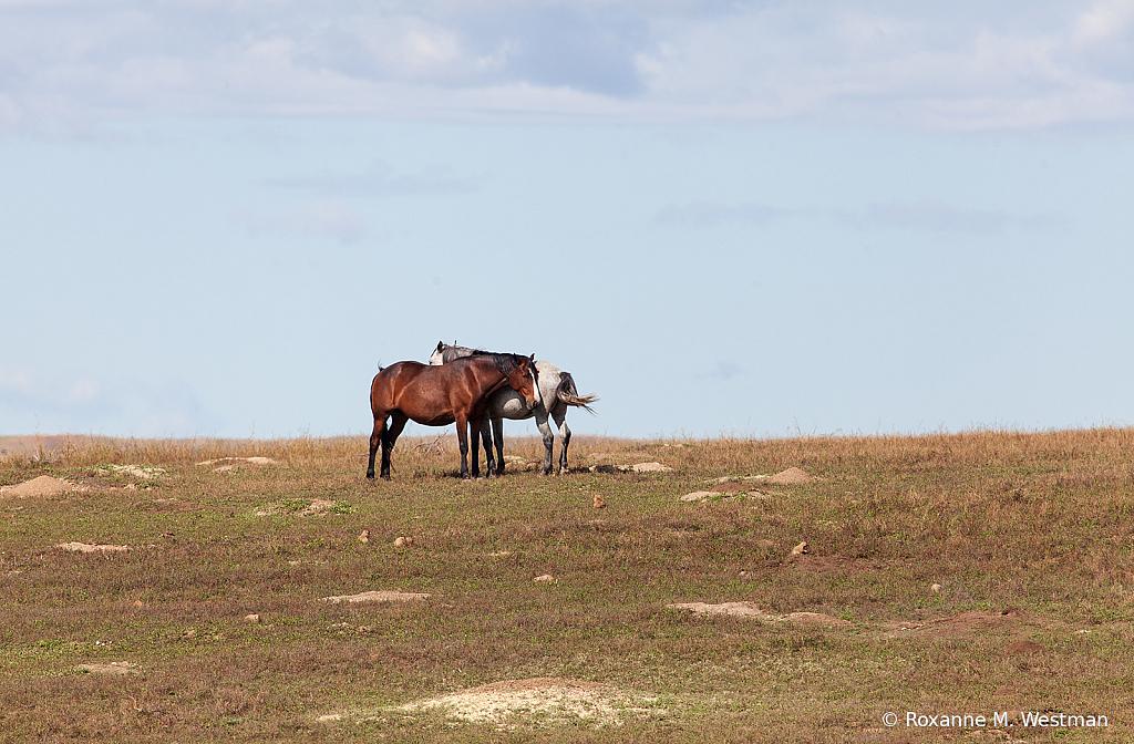 Wild horses 6 2019 - ID: 15764490 © Roxanne M. Westman
