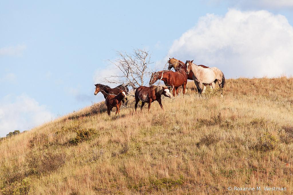 Wild horses 9 2019 - ID: 15764493 © Roxanne M. Westman