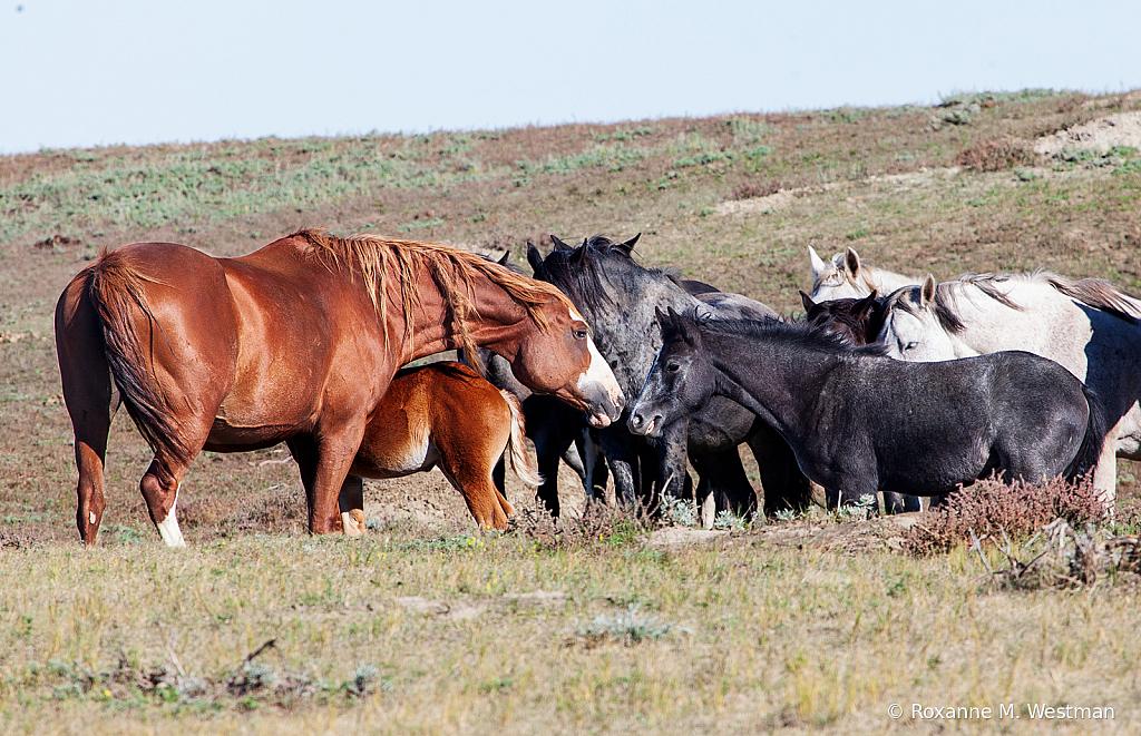 Wild Horses 16 2019 - ID: 15764499 © Roxanne M. Westman