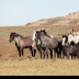 © Roxanne M. Westman PhotoID# 15764591: Wild horses 16 2019