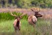 Tule Elk in Velve...
