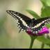 © Edward v. Skinner PhotoID# 15767672: Swallowtail